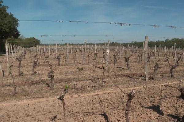 Les vignes dans la région de production de l'Armagnac dans les Landes ont souffert du gel de ce début avril 2021.