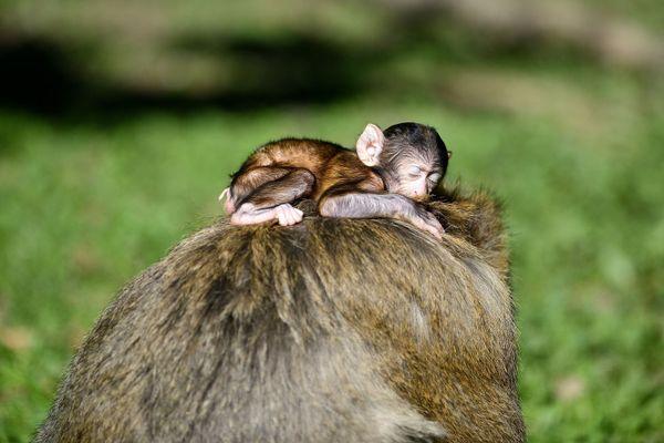Les macaques de barbarie sont une espèce en danger