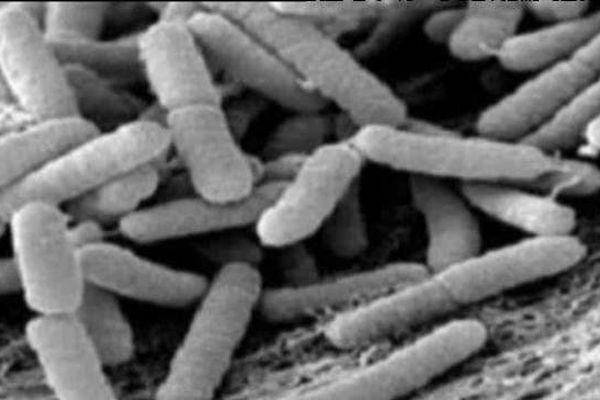 bacterie xylella
