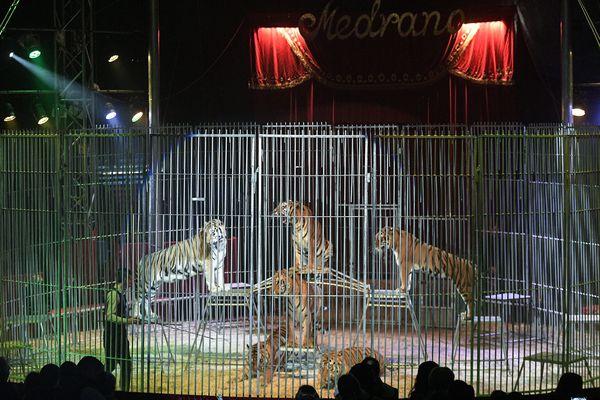 Le spectacle du cirque Medrano met notamment en scène des tigres.