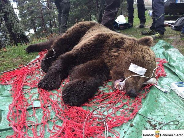 L'ours Cachou lors de sa capture le 27 mai 2019.