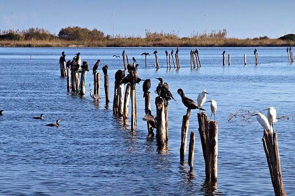 ILLUSTRATION - Grands cormorans et aigrettes garzettes sur les pieux d'aulne glutineux de l'ancienne bordigue située à l'est du fortin de Biguglia