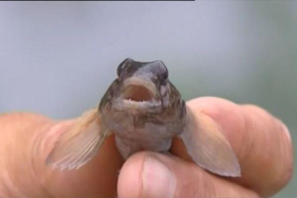 Un poisson parasite.