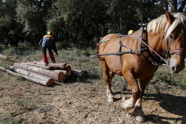 Une opération de débardage à cheval est organisé au domaine Saint-Jean à Corte. Elle devrait durer une dizaine de jours.