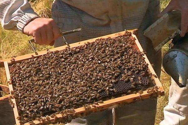 Cévennes - les abeilles du Gard - 2019.