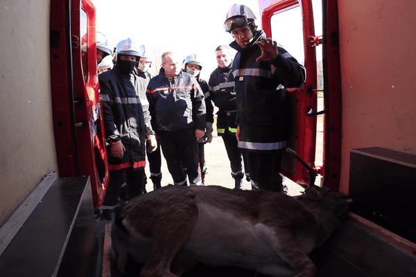 Les pompiers sont intervenus à l'aide d'un des deux vétérinaires du SDIS, qui a anesthésié l'animal
