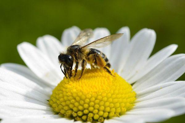 Une abeille entrain de butiner.
