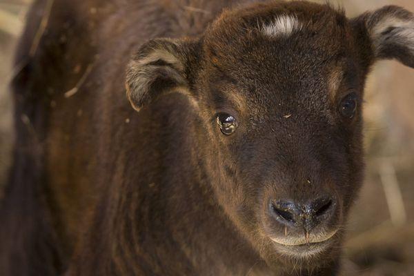 Timphou, petite femelle takin, porte le nom de la capitale du Bouthan, pays dont elle est l'animal emblématique.