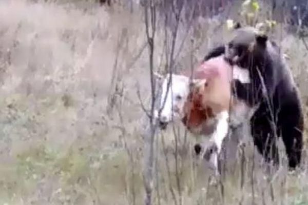 L'ours attaquant un jeune bovin