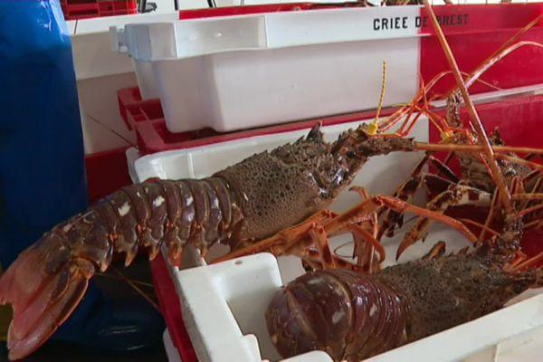 La langouste rouge pêchée en mer d'Iroise est la grande vedette de la criée de Brest en cette période de Noël.