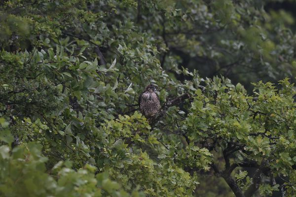 Un jeune faucon pèlerin vient de quitter son nid pour apprendre à voler et à chasser