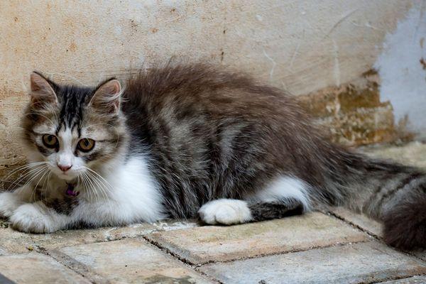 Le nombre de chats abandonnés avait presque doublé l'été dernier, causant des difficultés aux refuges d'animaux domestiques. (Illustration)