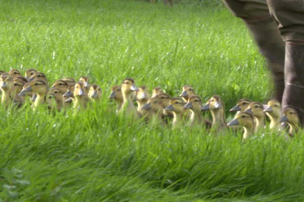 Elevage de canards au Pays basque