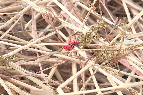 L'Adonis, petite fleur rouge, se trouvait dans le foin des chevaux.