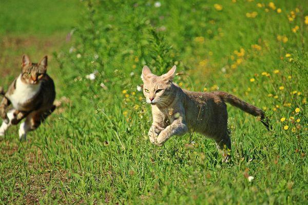 Les chats errants sont de plus en plus nombreux dans les campagnes. Photo d'illustration