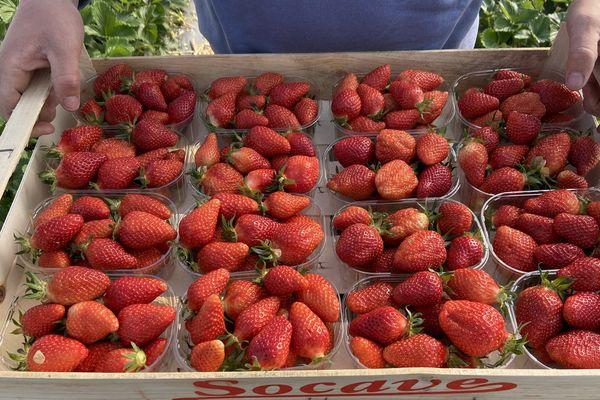 En Dordogne, la récolte des fraises a commencé il y a un mois.