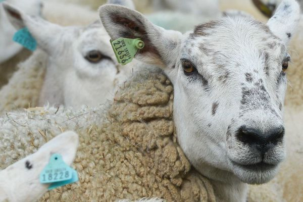 photo d'illustration- Des moutons qui ne sont pas ceux maltraités qui viennent d'être exfiltrés par la préfecture de l'Orne et la fondation BB