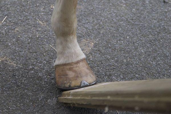 """Puis le test de la planche avec laquelle on fait levier pour jauger de la sensibilité éventuelle des pieds. Autant d'informations qui s'engrangent sur la santé de votre """"futur"""" cheval."""