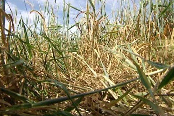 Cette parcelle de blé, au lieu-dit la Jague de Béziers, souffre du manque d'eau.