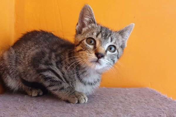 Tigrou, chat errant recueilli par l'association