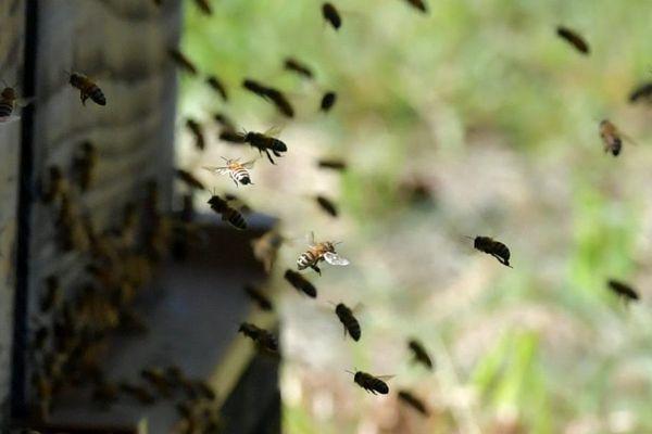 Une Nonagénaire a été transportée à l'hôpital dans un état critique après avoir été attaquée par un essaim d'abeilles samedi 2 juin, à Saint-Martial, dans le Cantal.