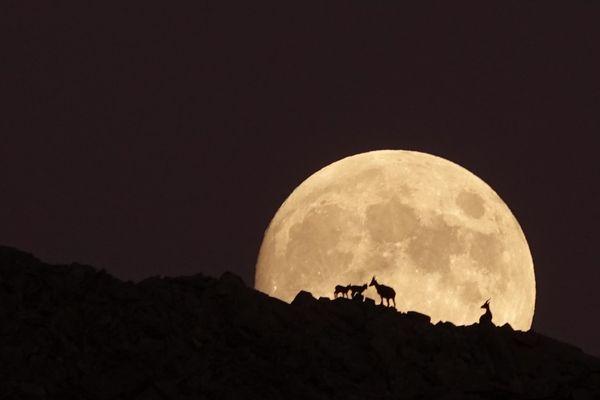 Des bouquetins dans la nuit dans le massif du Grand Paradis.