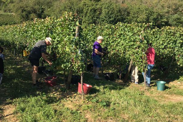 C'est parti pour les vendanges. Ce mercredi, les viticulteurs et saisonniers ont donné leurs premiers coups de sécateur dans les parcelles dédiées au crémant, comme ici sur le domaine d'Eric Debenath, à Westhalten.