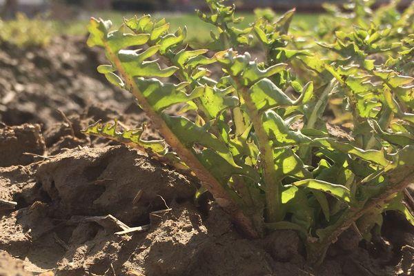 La récolte du pissenlit