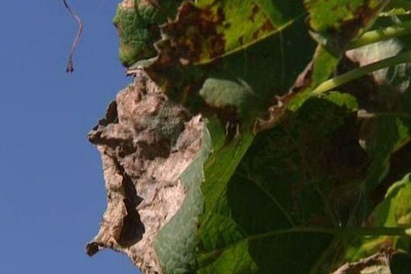 Le mildiou se caractérise par des taches brunes sur les feuilles de la vigne.