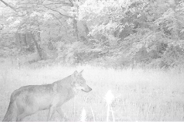 Un éleveur de Collandres dans le Cantal affirme distinguer la silhouette d'un loup sur un cliché issu d'un piège photo.