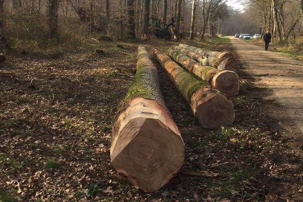 Les chênes en forêt de Lichères-sur-Yonne