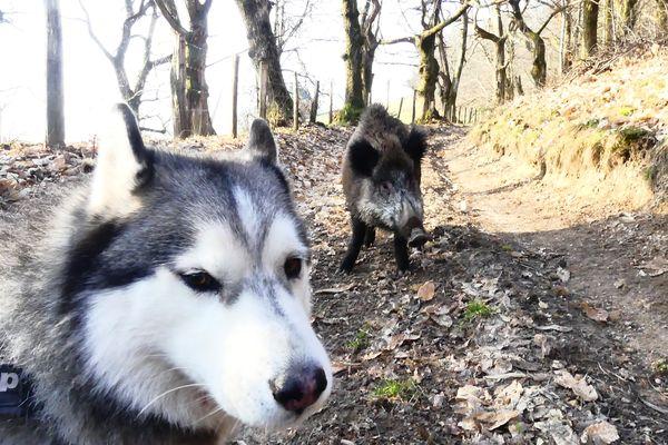 Le sanglier n'est pas effrayé par le chien du promeneur.