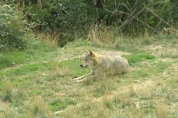 Lozère - le loup poursuit son avancée dans le département - archives