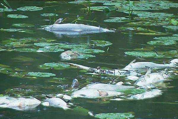 La pollution a tué des milliers de poissons depuis vendredi 9 août dans la rivière Oise.