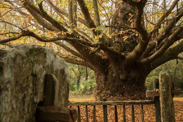 Ce châtaignier a plus de 500 ans : il a résisté à la tempête de 1987 ( Concarneau -Finistère- Lieu-dit : Kervigot)