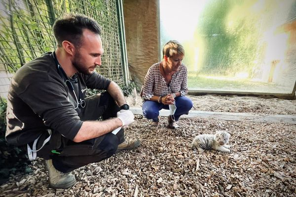 C'est le premier examen du bébé tigre un mois après sa naissance (à g. Valentin Cassar, vétérinaire du parc)