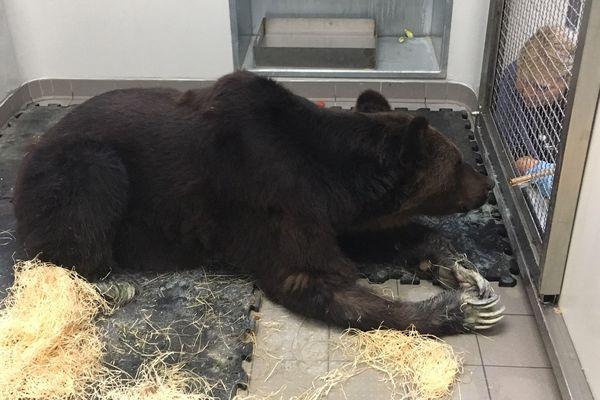 L'ours Mischa a été envoyé en urgence au Zoo refuge de la Tanière, à Nogent-le-Phaye