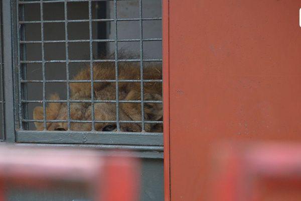 Elyo, le lion détenu dans un camion par le Buffalo Circus