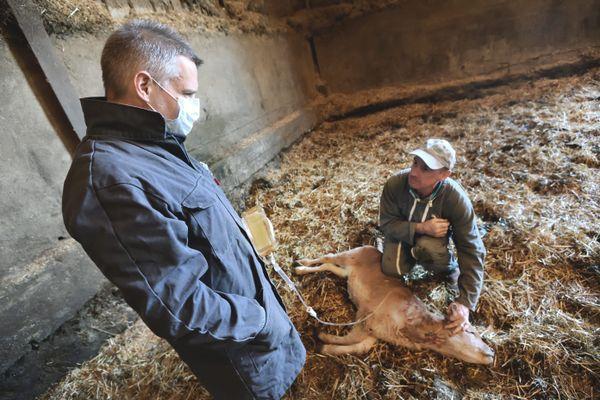 """Les vétérinaires se font de plus en plus rares en milieu rural, surtout ceux capables de soigner les """"animaux de rente"""""""