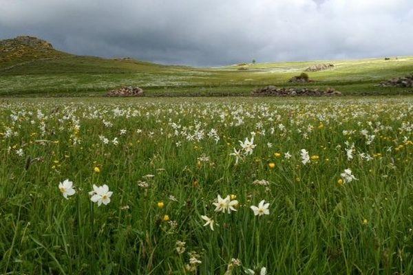 Aubrac (Lozère) - un champs des narcisses du poète - 11 juin 2013.