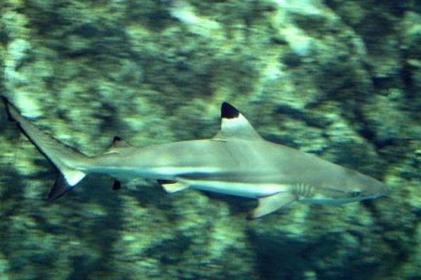 Un requin à pointe noire ne dépasse pas 1,6 m de long