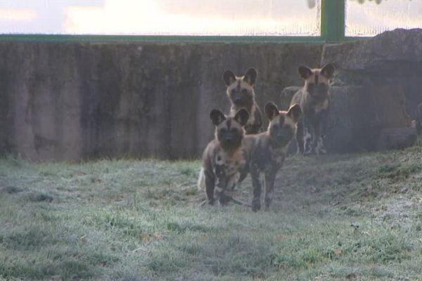 Les quatre bébés lycaon du Zoo de Fitilieu, en Isère.