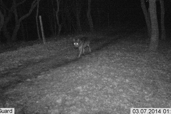 Le loup capté par le détecteur de présence de l'ONCFS 11 nà Ribouisse dans l'Aude à 1 h 20 du matin le 7 mars 2014