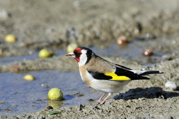 La population des chardonnerets élégants est en chute de 30 %, la capture de ces oiseaux fait partie des cause de sa disparition.