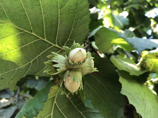 En confiture, en farine ou en poudre, la noisette excite bien des papilles