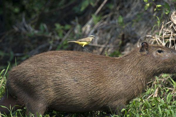 Le capybara est un rongeur qui vit à la fois sur la terre et dans l'eau et originaire d'Amérique du Sud.