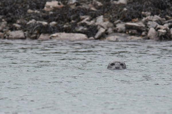 Le phoque présent dans le port des Bas-Sablon, est un veau marin, reconnaissable grâce à ses narines en forme de V