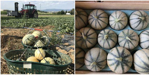 50 à 60.000 fruits devraient être récoltés pour la 2e saison du melon à Saessolsheim.