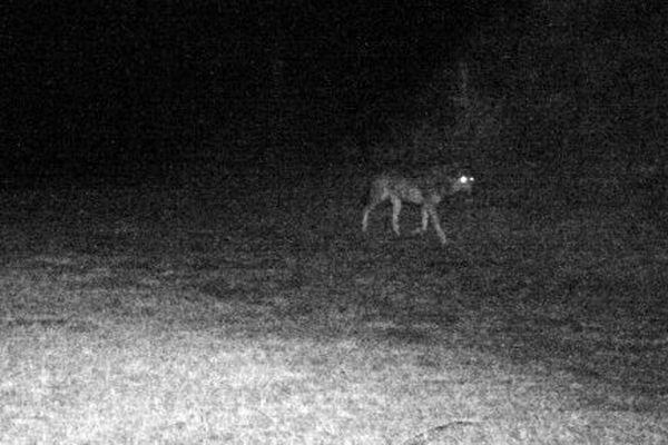 Cette photo d'un loup rôdant dans la commune de Ribouisse aurait été prise le 13 mars 2015.