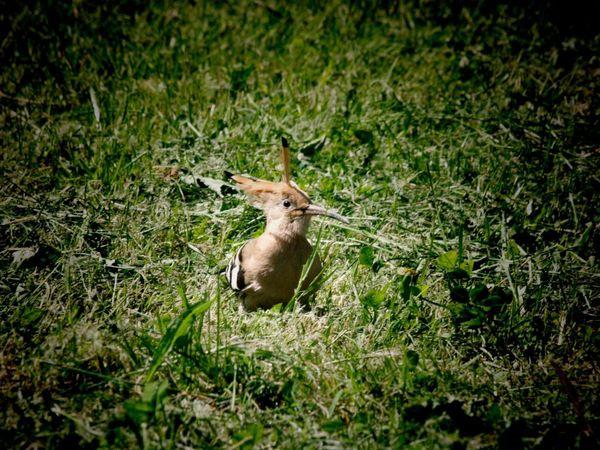 Dans nos jardins, prenons le temps de (re)découvrir la faune du Limousin. Ici une huppe fasciée, photographiée tout près d'une maison en haute-vienne. En occitan limousin on l'appelle la pépue.